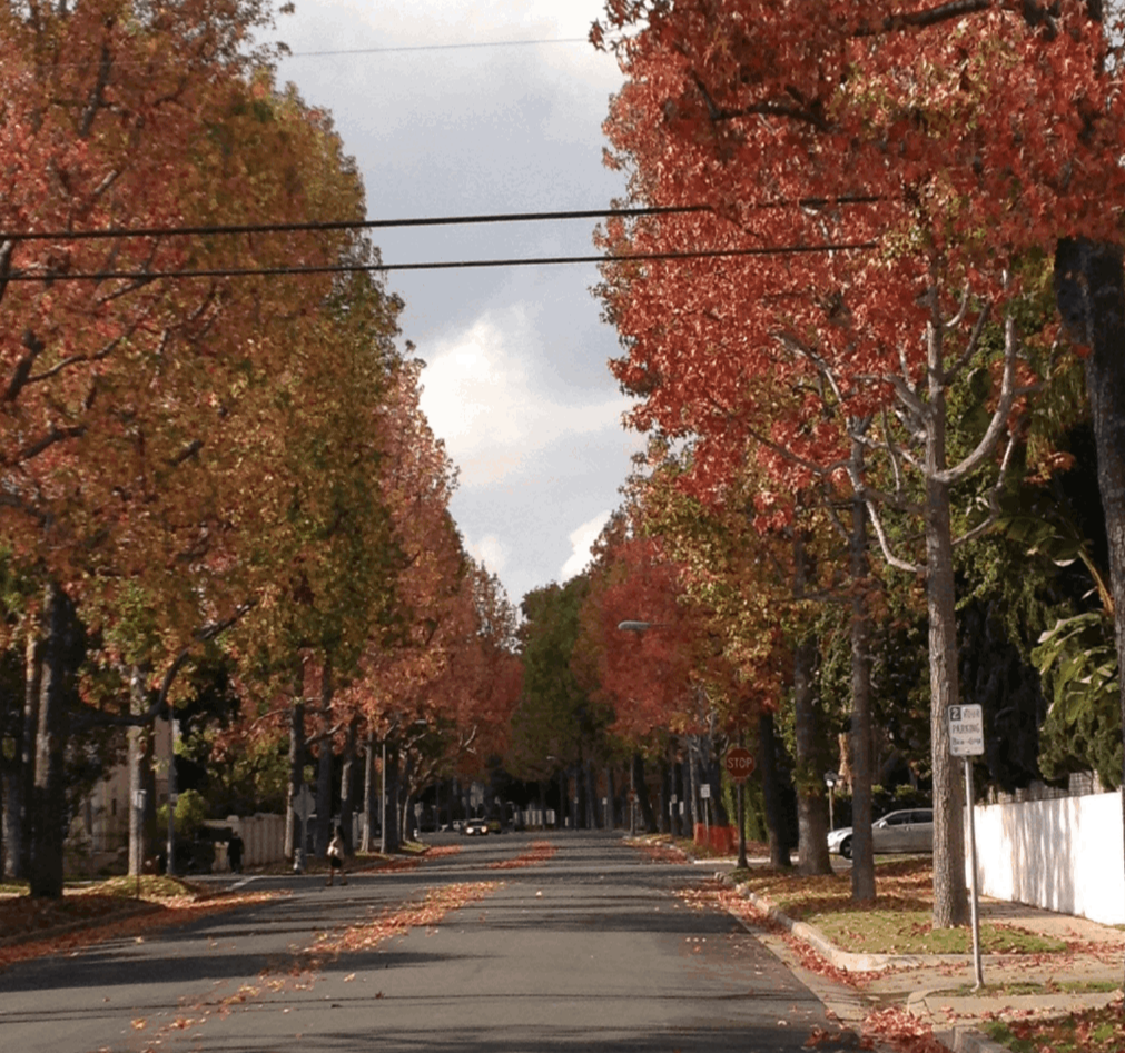 fall foliage in Beverly Hills flats